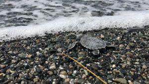 Hatay'da 60 deniz kaplumbağası yavrusu deniz ile buluştu