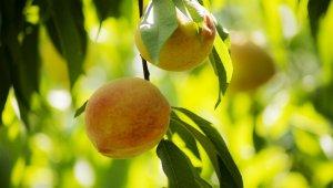 Bakanlık desteğiyle, Rusya'ya şeftali ihracatı iki katına çıkıyor