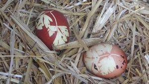 Tavuk maydanoz desenli yumurta yumurtladı