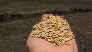 Derviş pirincinde ekim alanı arttı