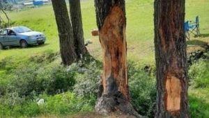 Çıra için çam ağaçlarını yonttular