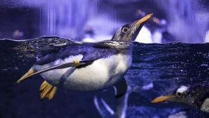 Türkiye'de türünün ilk bebek pengueni doğdu!