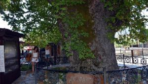 Tarihi çınar ağacı, mahalle ekonomisine katkı sağlıyor