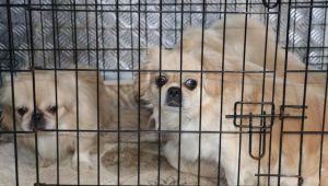 Ankara'da apartmanda ikinci köpek operasyonu