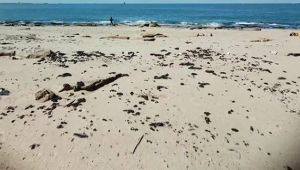 Akdeniz'den gelen katran sahile vurdu
