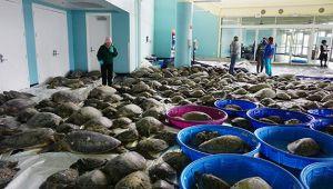 Binlerce deniz kaplumbağası donmaktan kurtarıldı