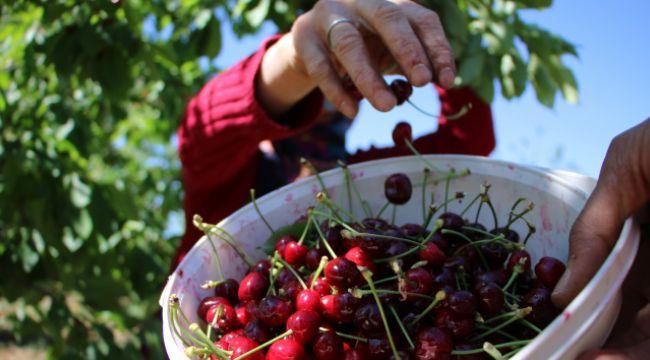 Mevsimlik işçilerden bayramda 'turfanda kirazı' hasadı
