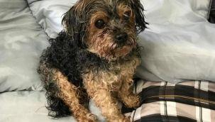 ABD'de kaybolan köpek 7 yıl sonra bin 500 kilometre uzakta bulundu